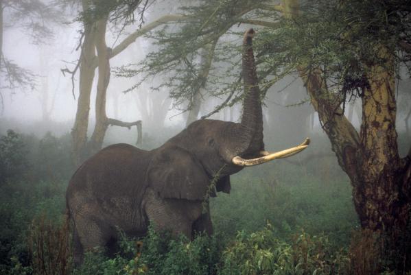 nat geo elephant