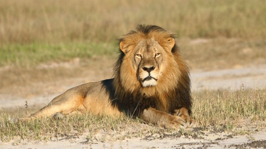 Some Triumph for African Lions